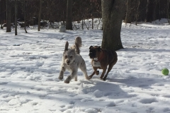 running-dogs-snow